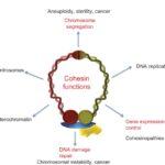 Nuove scoperte tumori 2021: il ruolo della coesina