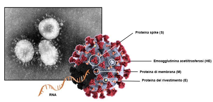 Farmaco per Covid 19 che impedisce al virus di uscire dalle cellule infettate