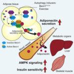 Trattamento del diabete con autofagia del grasso per contrastare l'insulino resistenza