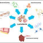 Lattoferrina: l'attività antivirale come si svolge?
